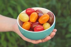 Kom met kleine, multi gekleurde die tomaten, door een vrouw worden gehouden stock fotografie