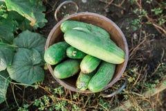 Kom van komkommers Stock Afbeeldingen