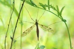 komar zdjęcia stock