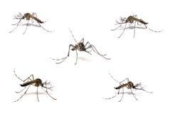 komar denga zdjęcie stock