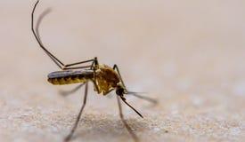 Komar jest na podłoga Zdjęcie Stock