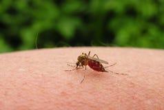 Komar pije krew na kobiety ręce, Lithuania fotografia royalty free