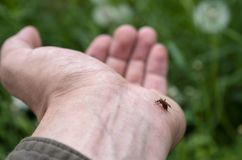 Komar pije krew od jego ręk zdjęcie stock