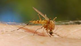 Komara krwionośny ssać na ludzkiej skórze zbiory