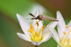 Komara obsiadanie na białym wildflower obraz stock