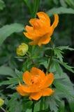 Komara obsiadanie na kwiat kuli ziemskiej Zdjęcia Royalty Free
