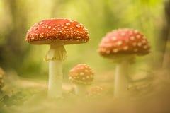Komarnic bedłki w lesie Zdjęcia Royalty Free
