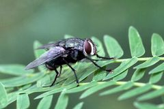 komarnica Obraz Royalty Free