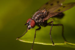 komarnica Obrazy Royalty Free