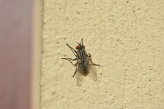komarnica Fotografia Stock