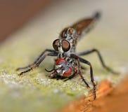 komarnica drapieżcza Obrazy Royalty Free