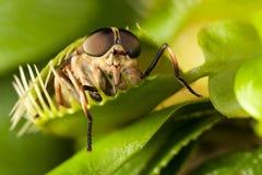Komarnica i flytrap Obrazy Royalty Free