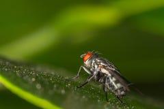 Komarnica insekt obraz royalty free
