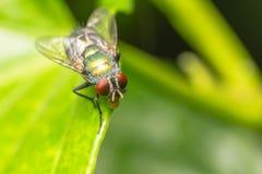 Komarnica insekt zdjęcie royalty free