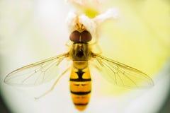 Komarnica jak osa, je pollen, siedzi wśrodku białego kwiatu Makro- Zdjęcia Royalty Free