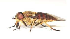 komarnica koń odizolowywał Zdjęcia Stock