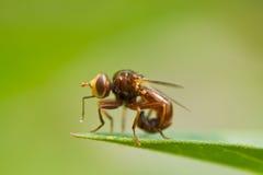 komarnica liść Zdjęcia Stock
