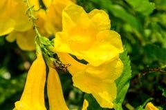 Komarnica makro- żółty kwiat Obraz Stock