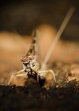 komarnica może pozujący Zdjęcie Royalty Free