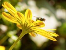 Komarnica na żółtym kwiacie Zdjęcie Royalty Free