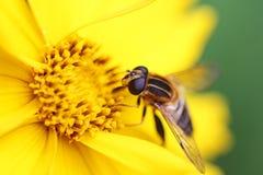 Komarnica na żółtym kwiacie Obraz Stock