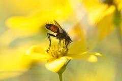 Komarnica na żółtym okwitnięciu Zdjęcia Royalty Free