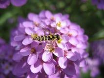 Komarnica na błękitnym kwiatu zakończeniu up Fotografia Stock