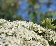 Komarnica na flowerhead Zdjęcia Royalty Free