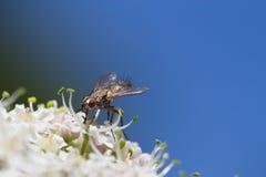Komarnica na kwiacie Obrazy Royalty Free