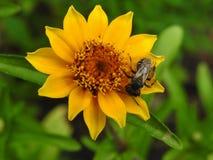 Komarnica na kwiacie Obraz Stock