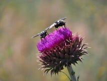 Komarnica na kwiacie Fotografia Stock