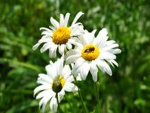 Komarnica na stokrotka kwiacie zdjęcie wideo