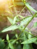 komarnica na zielonych liściach Zdjęcie Royalty Free