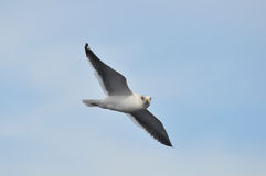 komarnica nad dennym seagull Obrazy Royalty Free