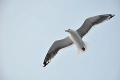 komarnica nad dennym seagull Fotografia Royalty Free