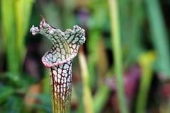 Komarnica oklepa roślina Obrazy Stock