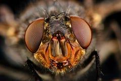 komarnica portret Frontowy widok Zdjęcie Stock