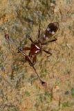 komarnica przyglądający się badyl fotografia stock