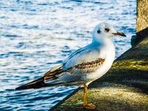 Komarnica ptaki Zdjęcie Stock