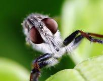 komarnica rabuś Zdjęcie Royalty Free