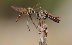 komarnica rabuś obraz stock