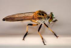 komarnica rabuś Zdjęcia Stock