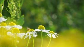 Komarnica robi gimnastykom na chamomile zbiory