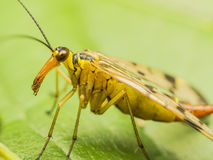 komarnica skorpion obrazy stock
