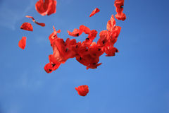 komarnica tulipan Obrazy Stock