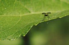 Komarnica typ insekt zdjęcia royalty free