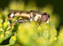 Komarnica w naturze marconi zdjęcie royalty free