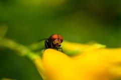 Komarnica w ogródu parku Obraz Stock