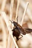 komarnicy Zdjęcia Royalty Free