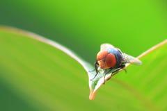 komarnicy Obrazy Royalty Free